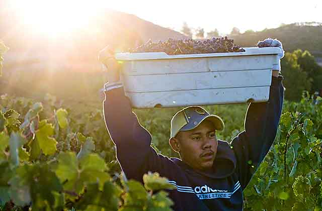 grape harvest in california wine country.