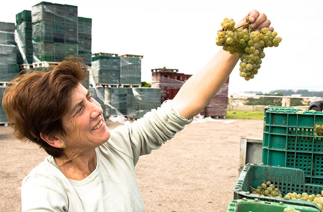 albarino grapes harvest
