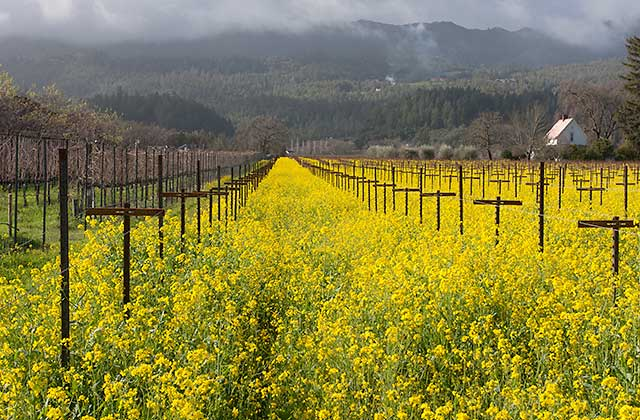 mustard wine country