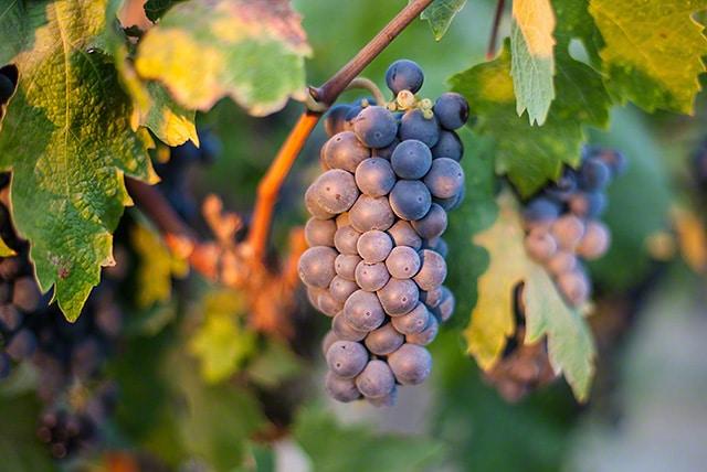 Lodi old vine Zinfandel