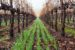 cover crops wine country